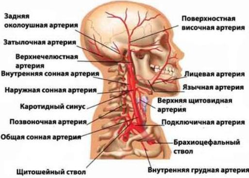 Диагностика брахиоцефальных вен.